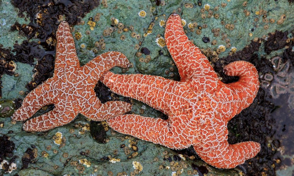 The remarkable return of the starfish, species triumphs over melting disease