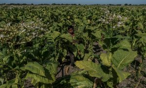 Toddler labour rampant in tobacco industry