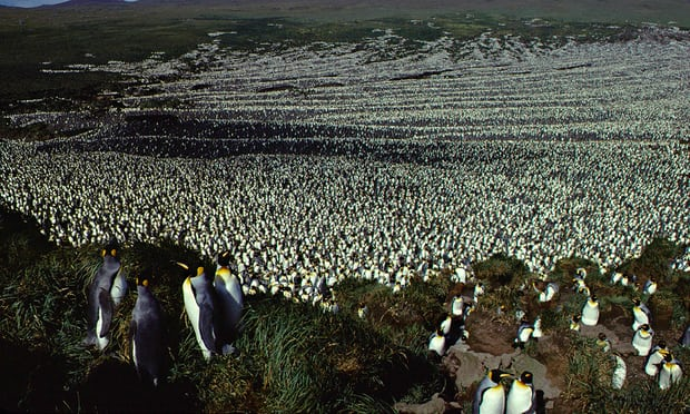 International's largest king penguin colony has declined by means of 90%
