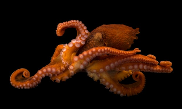The undersea and the ecstasy, MDMA leaves octopuses loved up